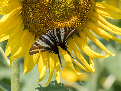Sunflowers 28 July 2018-2531