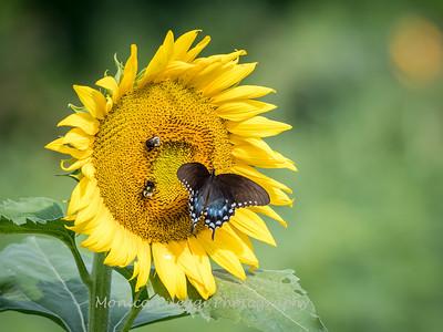 Sunflowers 2 Aug 2017 -3034