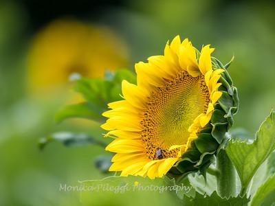 Sunflowers 27 July 2017 -2273