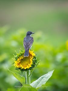 Sunflowers 27 July 2017 -2277