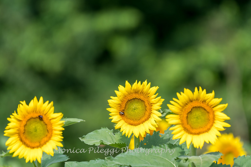 Sunflowers 2 Aug 2017 -3002