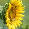 Sunflowers 2 Aug 2017 -3048