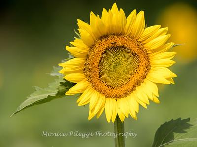 Sunflowers 2 Aug 2017 -3003