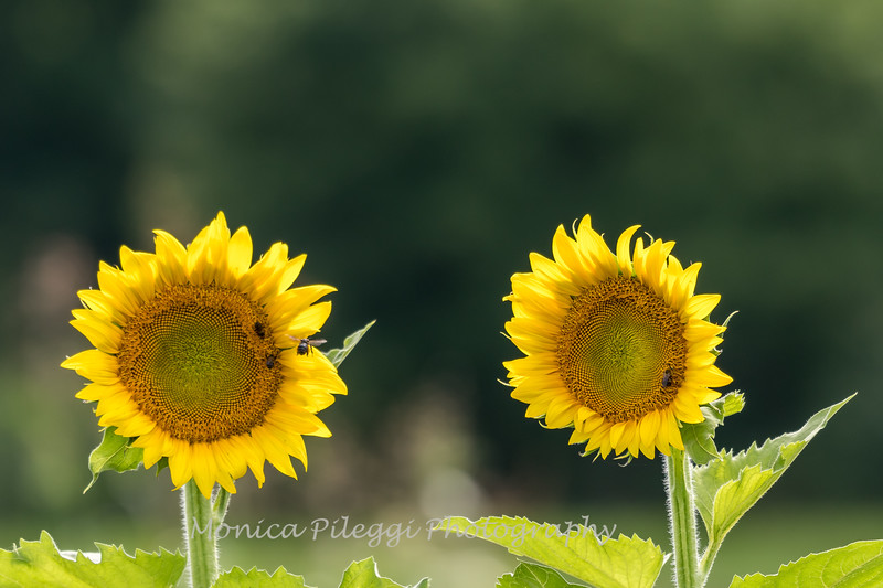 Sunflowers 27 July 2017 -2217