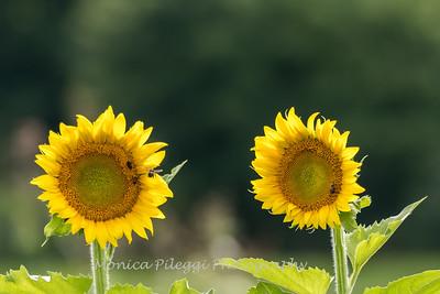 Sunflowers 27 July 2017 -2217