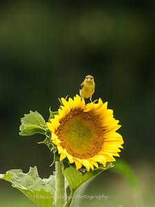 Sunflowers 27 July 2017 -2345