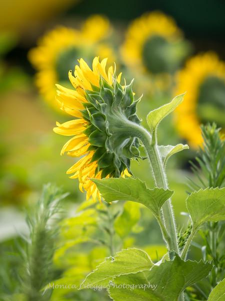 Sunflowers 2 Aug 2017 -3029
