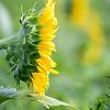 Sunflowers 2 Aug 2017 -3044