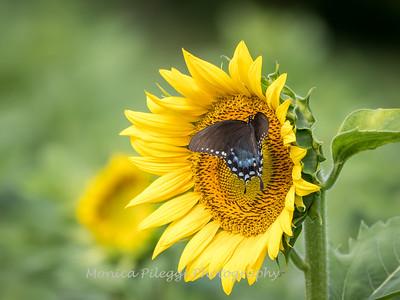 Sunflowers 2 Aug 2017 -3016