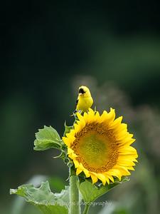 Sunflowers 27 July 2017 -2351