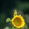 Sunflowers 27 July 2017 -2351