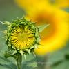 Sunflowers 2 Aug 2017 -3077