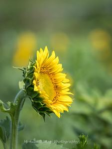 Sunflowers 2 Aug 2017 -3055