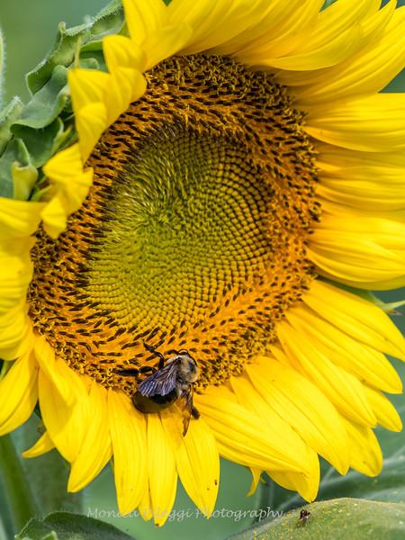 Sunflowers 2 Aug 2017 -3040