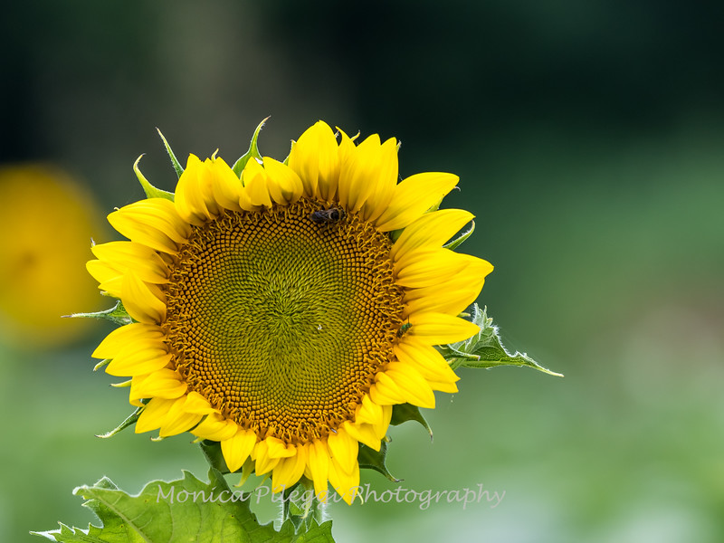 Sunflowers 27 July 2017 -2288