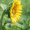 Sunflowers 2 Aug 2017 -3046