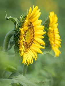 Sunflowers 2 Aug 2017 -3059