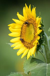 Sunflowers 2 Aug 2017 -3005