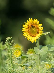 Sunflowers 2 Aug 2017 -3035