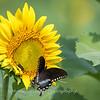 Sunflowers 2 Aug 2017 -3071