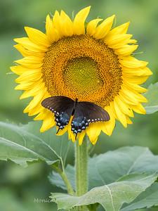 Sunflowers 2 Aug 2017 -3024