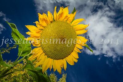 Sunflowers in the Garden,  Aug 27, 2014