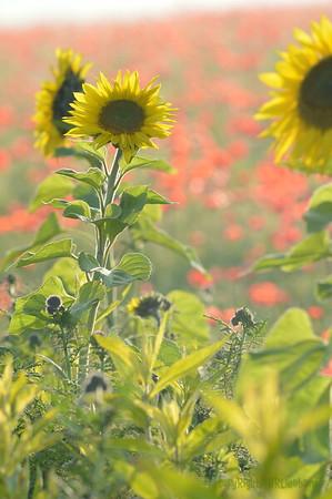Sunflower_Apple_01112016 (103)