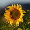 Sunflower_Apple_30102016 (31)
