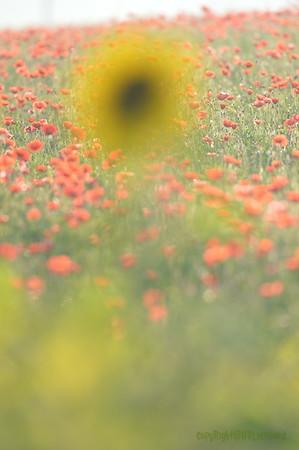 Sunflower_Apple_01112016 (105)