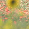 Sunflower_Apple_01112016 (105)