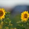 Sunflower_Apple_30102016 (13)