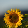 Sunflower_Apple_30102016 (20)