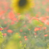 Sunflower_Apple_01112016 (106)