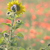 Sunflower_Apple_01112016 (84)