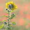 Sunflower_Apple_01112016 (90)