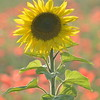 Sunflower_Apple_01112016 (95)
