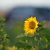 Sunflower_Apple_30102016 (12)
