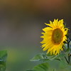 Sunflower_Apple_30102016 (8)
