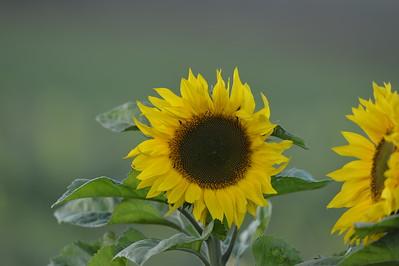 Sunflowers&Poppys Apples_30102016
