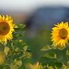 Sunflower_Apple_30102016 (17)
