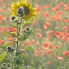 Sunflower_Apple_01112016 (86)