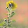 Sunflower_Apple_01112016 (91)