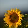 Sunflower_Apple_30102016 (21)