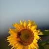 Sunflower_Apple_30102016 (24)