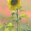 Sunflower_Apple_01112016 (108)