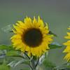 Sunflower_Apple_30102016 (5)