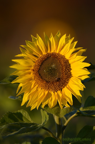 Sunflower_Apple_30102016 (41)