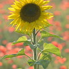 Sunflower_Apple_01112016 (99)