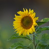 Sunflower_Apple_30102016 (7)