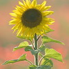 Sunflower_Apple_01112016 (93)
